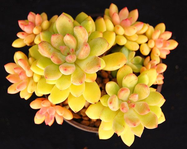 Echeveria amoena - must see reference for beginning succulent gardens with names and photos and info of all the varieties of succulent! Fantastic website! I got a variety pot of succulent as a gift and this helped identify each one and care for them better.