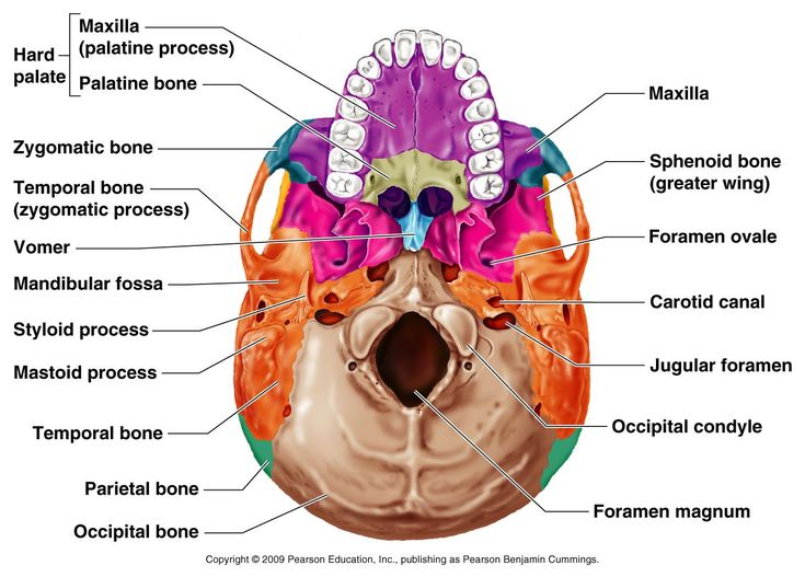Occipital bone: contains the foramen magnum, where the spinal cord attaches to the brain; occipital bone also articulates with the first cervical vertebra (atlas)