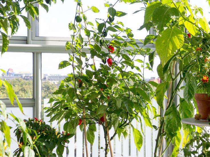 Red Habanero chili plant. Capsicum chinense.