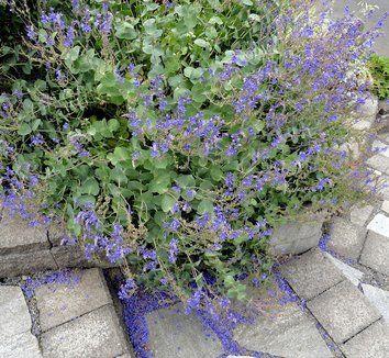 derwentia perfoliata - Google Search W.30-60cm H.20-40cm