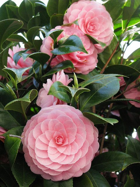 photo ... Japanese camellia  ... pink ... luv how the rows of petals swirl out from the center ...