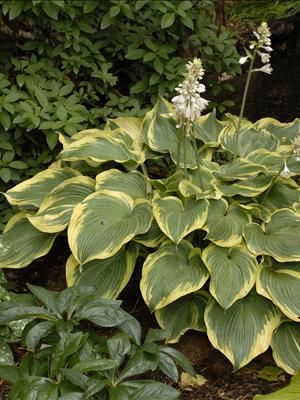 """Hosta 'Earth Angel' - Height, 30"""" Spread 40"""", Part - Full Shade, zone 3-9, medium growth rate.   •Hosta of the year 2009. A sport of H. 'Blue Angel'.  •Large, heart-shaped, blue-green leaves with wide, creamy-white margins that are creamy yellow in spring •Pale lavender flowers appear on 40 inch scapes in midsummer •Outstanding specimen plant This premium hosta variety is part of a group of the finest hostas available today. Photo - Walters Gardens, Inc."""