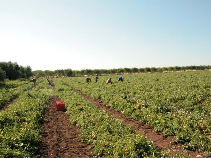 Our fields in BISCEGLIE - Apulia #italy #tomato