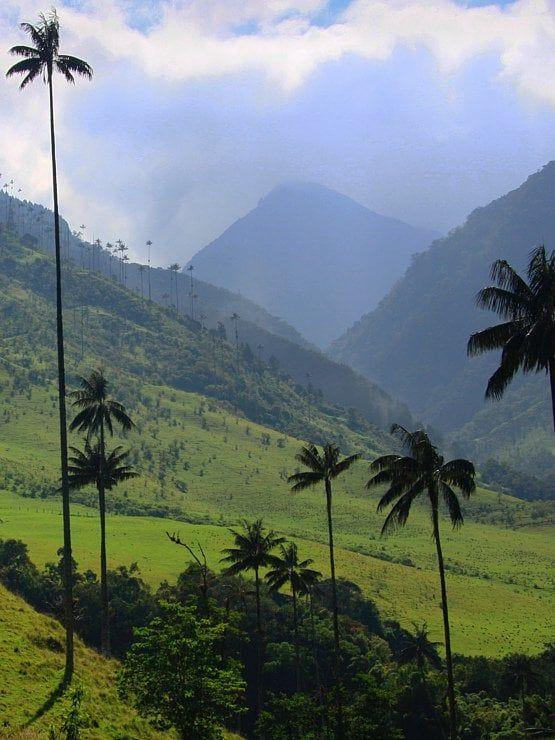 Le palmier à cire possède un tronc lisse et couvert de cire qui fut utilisée pour la fabrication de bougies. Il peut atteindre plus de 50 mètres de hauteur. Il pousse sur les collines du flanc ouest de la cordillère des Andes avec une croissance très lente et peut vivre jusqu'à cent ans. Ce palmier est devenu l'arbre national de la Colombie. #photographie #voyage #colombie