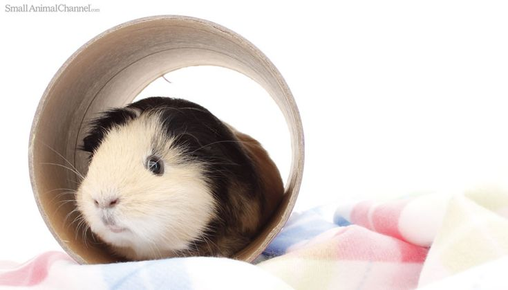 10 Common Guinea Pig Behaviors Explained. From squealing to sleeping with their eyes open, pet guinea pigs baffle and charm us with their behavior.