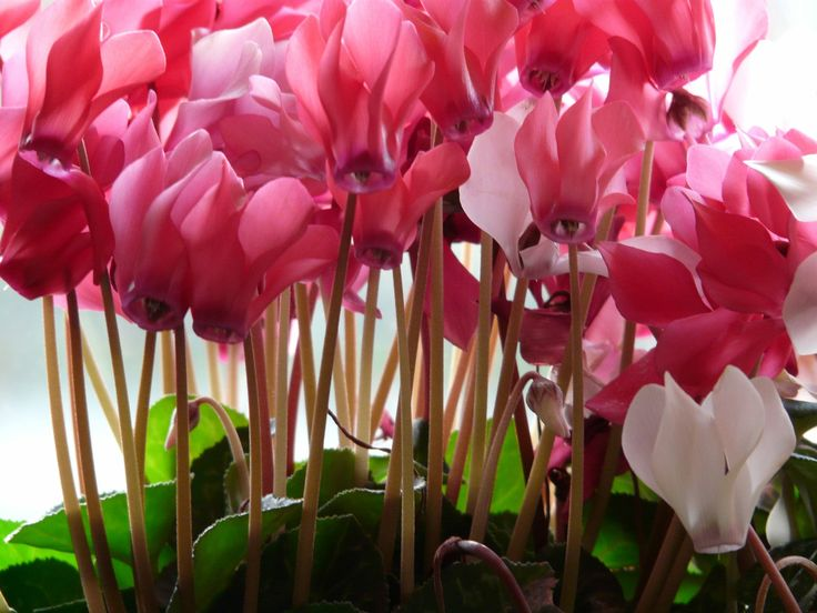 Choose sweet pink or daring red cyclamen flowers coupled with dreamy, marbled leaves to make your valentine swoon.
