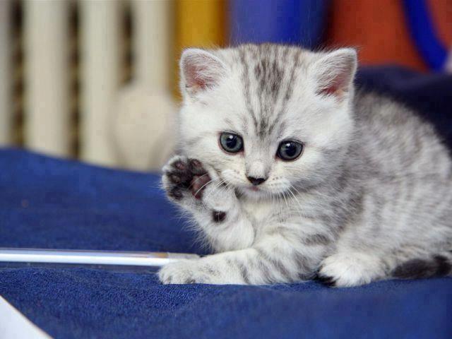 Cute kitten showing paw