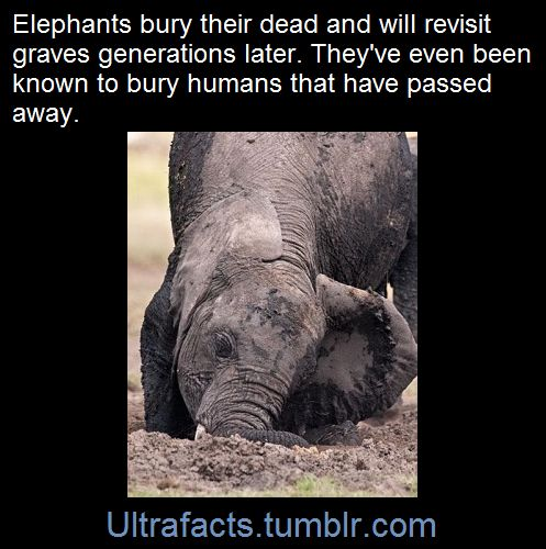 ultrafacts:     On many occasions, they have also buried dead or sleeping humans or aided them when they were hurt.   (Fact Source) Follow Ultrafacts for more facts!
