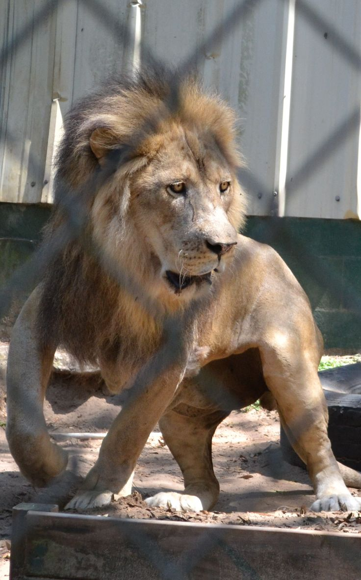King our African Lion is looking good