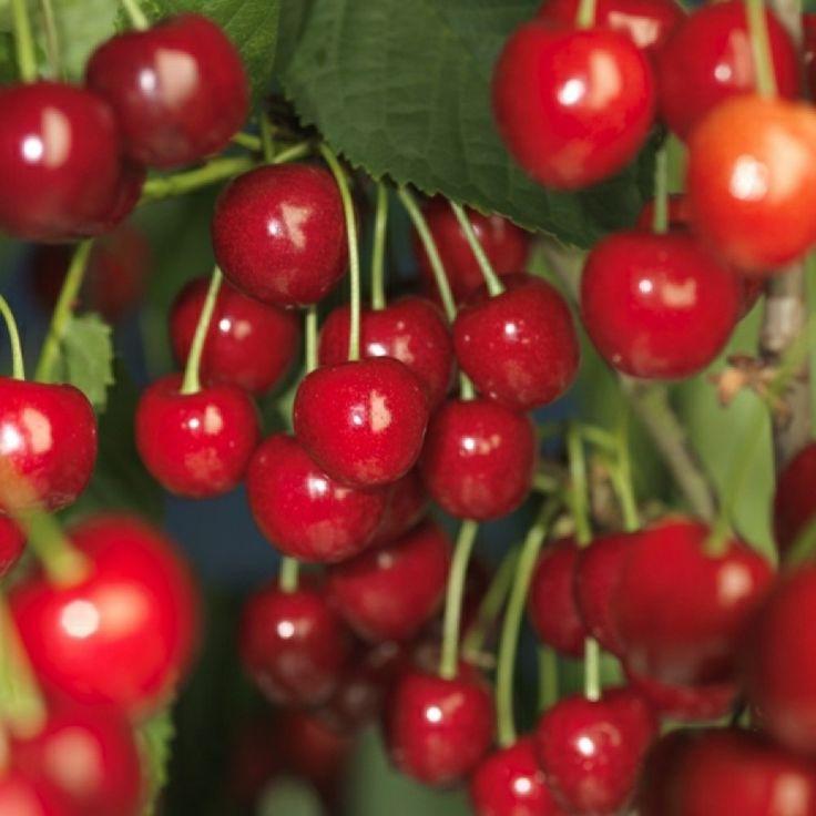 Svaktvoksende søte kirsebær, egnet for små hager eller i krukker. Rikt og tidligbærende, mer hardfør enn 'Stella'. Søte, store mørkerøde bær. Selvfertil. ...