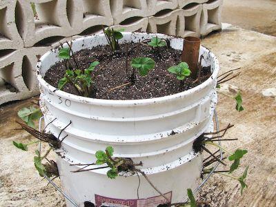 Self Watering Strawberry Planter Garden Pinterest