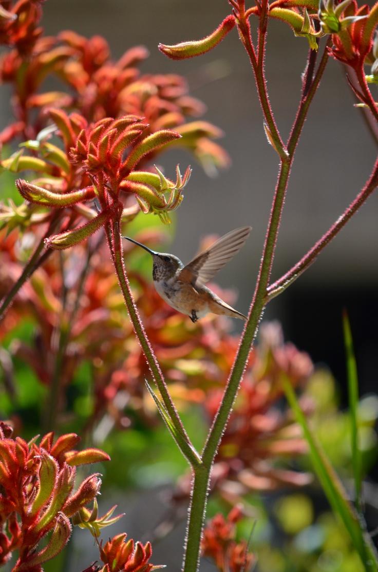 Amber Velvet Kangaroo Paw and Hummingbird