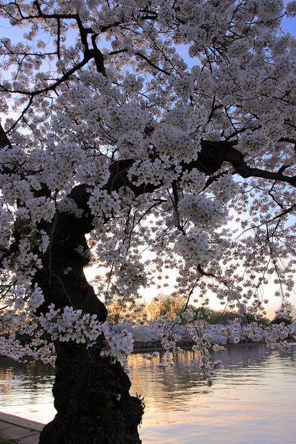 Cerejeiras em flor  blossoms naas margens do Rio Potomac, proximo ao Memorial Jefferson, em Washington, D.C., USA.  Fotografia: Brent McGuirt no Flickr.
