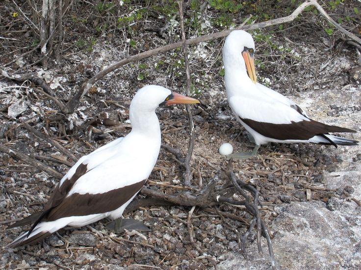 Galapagos boobies with egg.