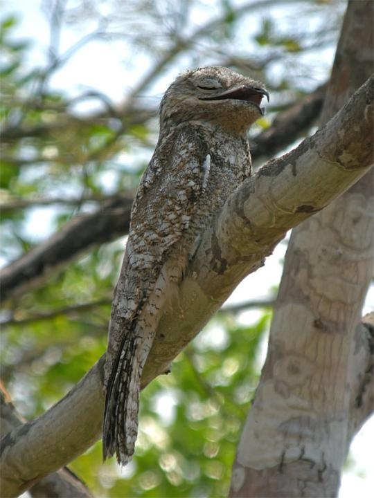 Whoa! How cool is this guy?! A Great Potoo (Nyctibius grandis). Though related to the nightjars, like other potoos it lacks the bristles around the mouth found in the true nightjars (Caprimulgidae). The Great Potoo is larger than a crow at 19 - 24 inches long and 12.7 oz - 1.4 lb.
