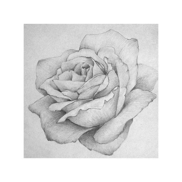 Un classico #rose #drawings