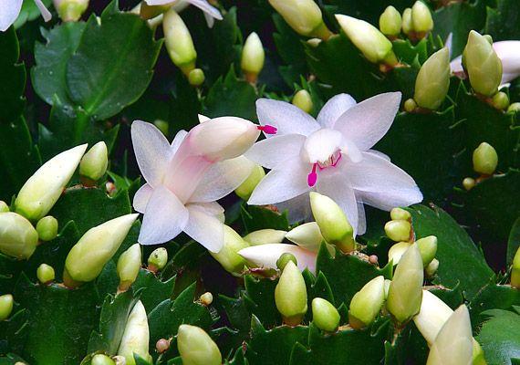 karacsonyi_kaktusz.jpg (570×400)