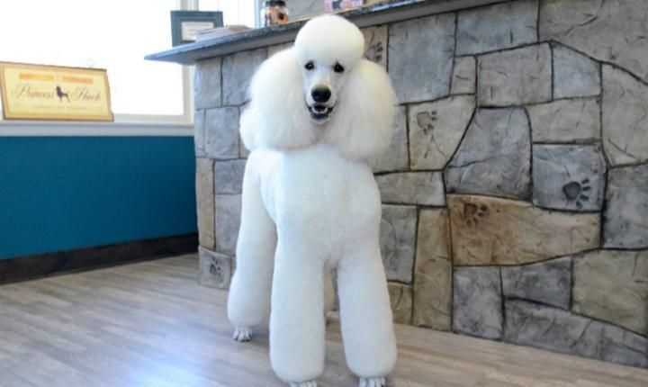 White Standard Via Dooziedog Com Smartest Dog Breeds Dog Breeds