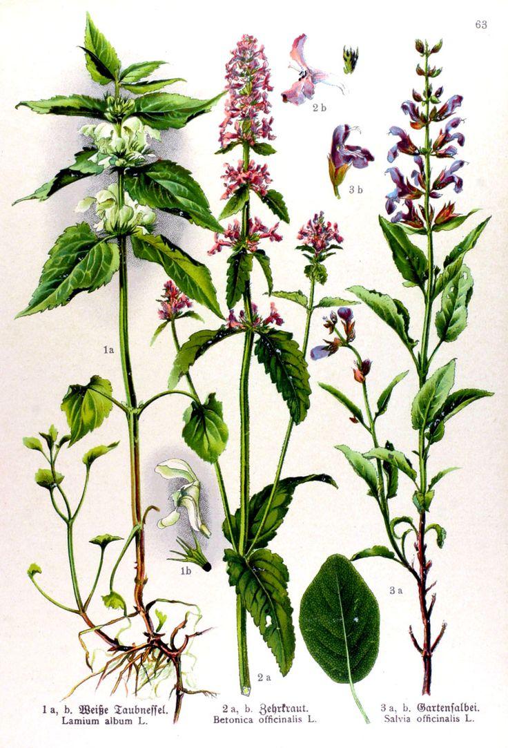 img/gravures anciennes de fleurs/gravure couleur ancienne de fleur - Lamium album; Betonica officinalis; Salvia officinalis.jpg