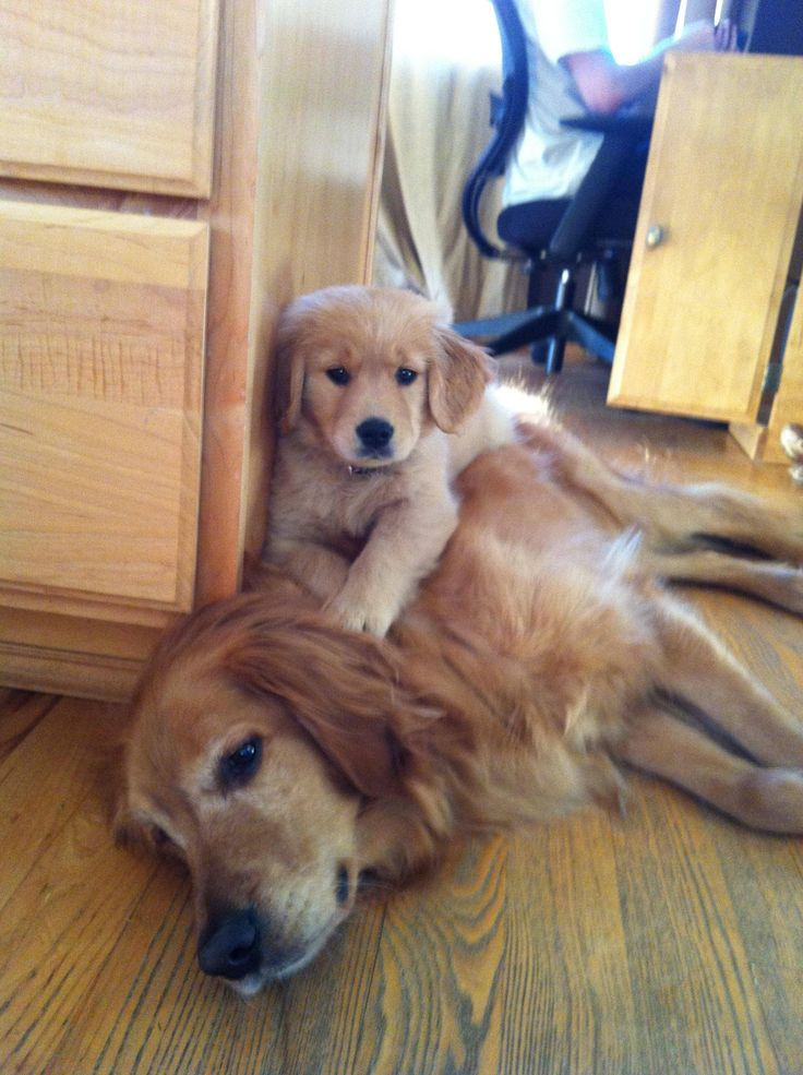 love goldens!