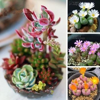 Mix Succulent plants Lithops seeds Stone Fungi fleshy seeds Bonsai plants Seeds for home & garden 100 Seeds/bag Free shipping