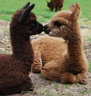 Alpaca kisses #nature | follow @sophieeleana