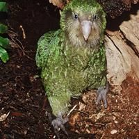The Kakapo Once you could shake a tree and a kakapo would fall out. Now, there's fewer than 150 birds. We're all cheering for this inquisitive flightless parrot as it waddles back from the brink of extinction.