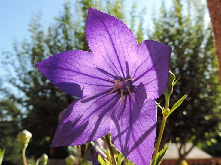Contre-jour sur la fleur de Platycodon