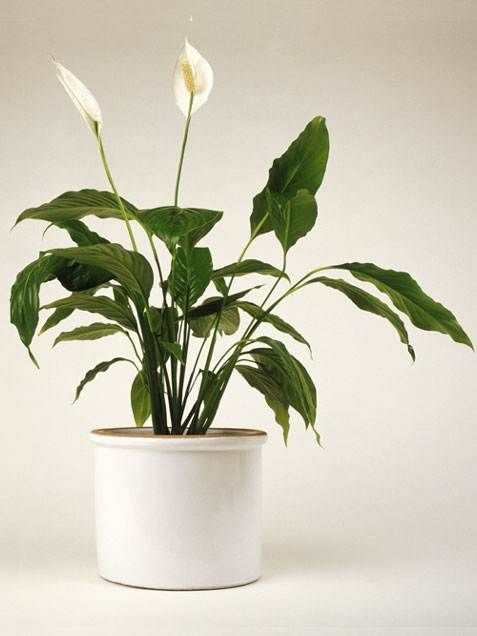 Peace Lily ..... Surely you've seen this indoor house plant in many homes, since it has such pretty, curving white blooms and dark leaves—and it's super easy to grow ... This house plant favors low humidity and also low light, making it great for rooms with few windows. It prefers moist soil throughout the pot and tolerates standard temperatures ranging to about 85 degrees.
