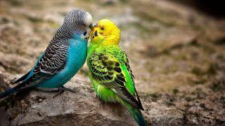 Pasangan burung cantik romantis