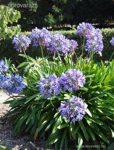 szerelemvirá kék gumó,hagyma,virághagyma - Vetőmag, virághagyma - 850 Ft