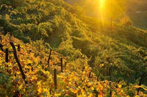 I live in a red wine region and I`m surrounded by lots of wineyards