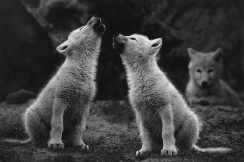 black and white wolves howling photography | Black And White Wolves | Publish with Glogster!