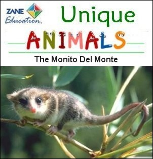 "UNIQUE ANIMAL OF THE DAY - The Monito Del Monte - The ""little mountain monkey"" of South America is not a monkey, but rather a marsupial, thought to have arrived from Australia long ago. It's tiny – only about 5″ full grown. They are nocturnal and carnivorous, and famous (well, among scientists) for their unusual tail, which can store enough fat to make this little pipsqueak double in size. This allows them to go for long periods without food. The monito del monte is in danger of extinction."