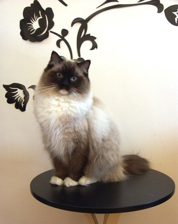 Гигантские породы домашних кошек: Рэгдолл  Читать больше: http://zhizninauka.info/topics/gigantskie-porody-domashnih-koshek/