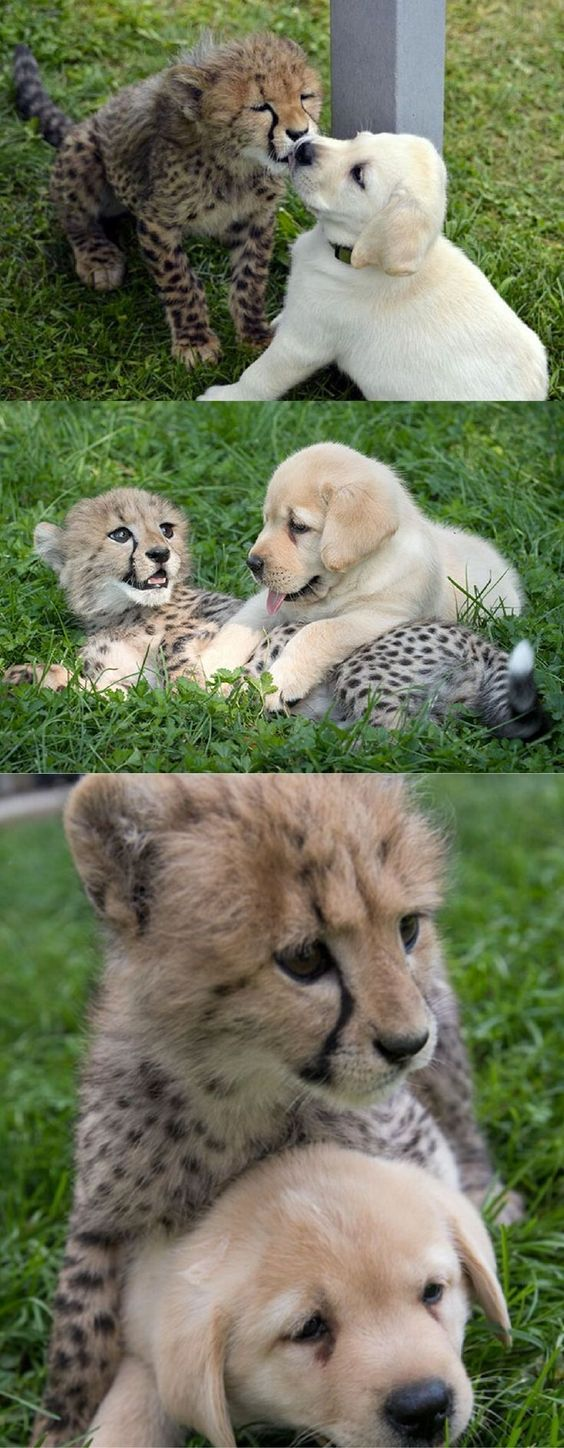 While cheetahs might look like majestic and dangerous beasts, actually, they are very nervous beings. They get so anxious, they don't know how to socialize with each other and get too stressed to have sex. That's why they needed help as they're becoming extinct – and the solution came in the most unexpected form…