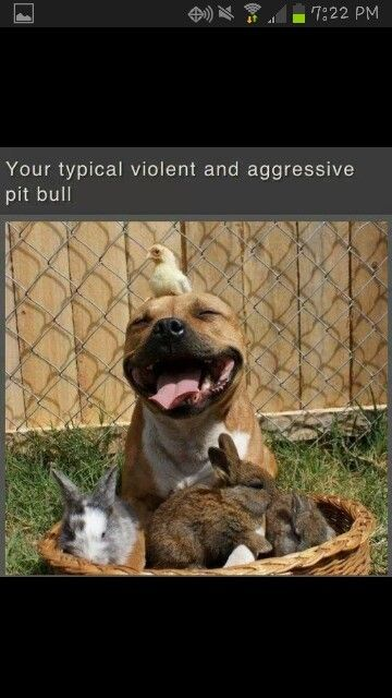 Typical pitbull . (: