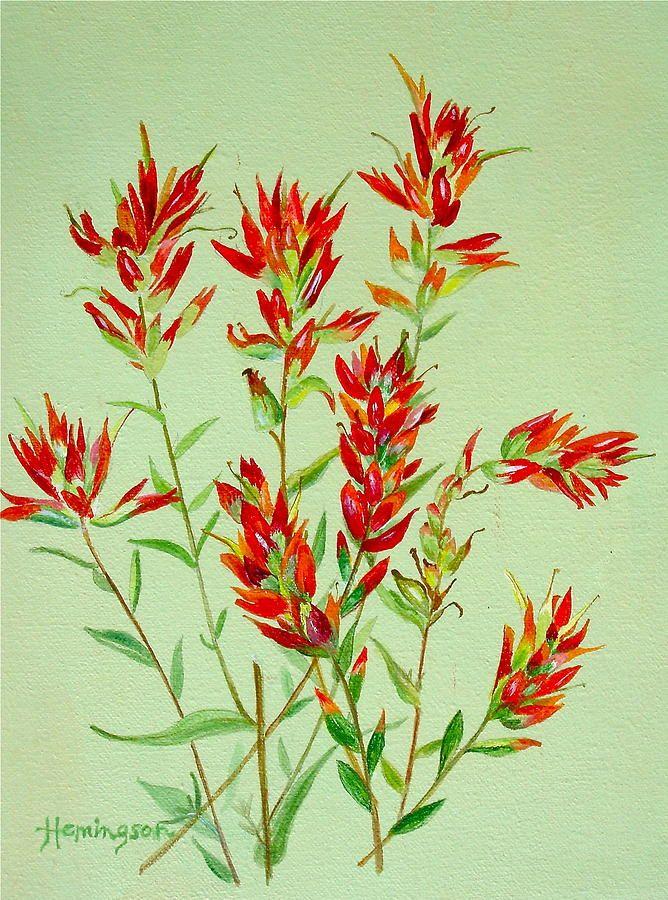 botanical drawing colorado indian paintbrush - Google Search
