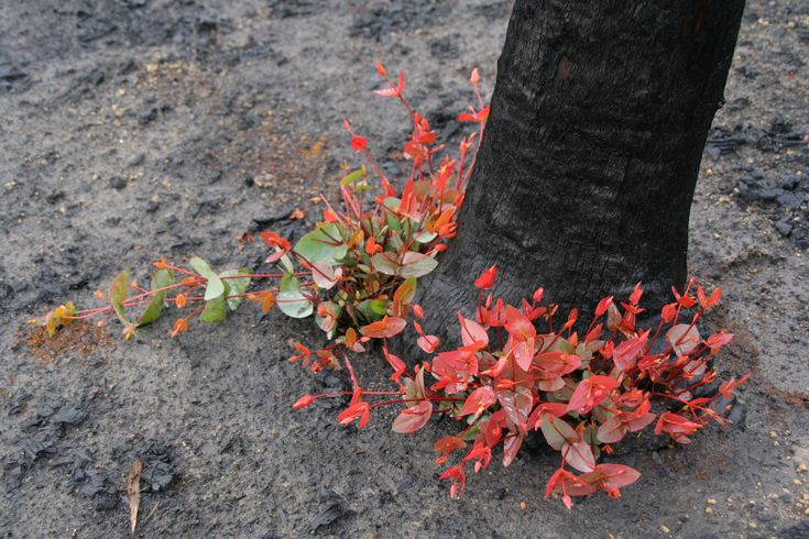 Epicormic regrowth from base of Eucalyptus tree, four months after Black Saturday bushfires, Strathewen