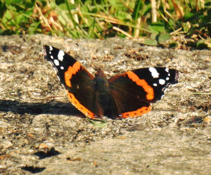 Red Admiral butterfly, Wey and Arun Canal, Loxwood, West Sussex