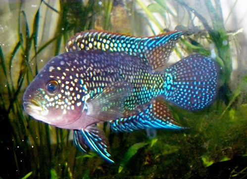 Jack dempsey cichlid fresh water fish other wonderful for Jack dempsey fish