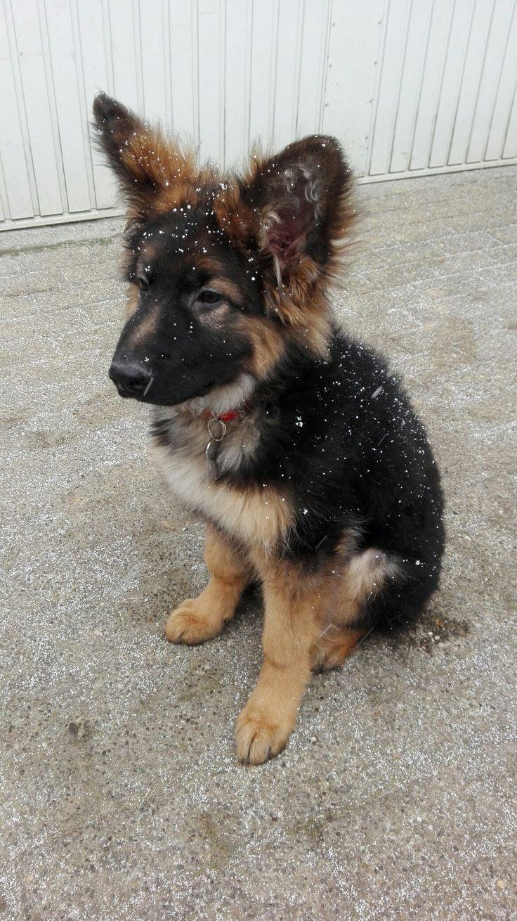 Snowy German Shepherd Puppy Love Those Ears 3 New Pinterest