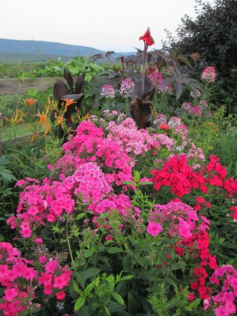 68 best images about volcano phlox on pinterest gardens deadheading and colors. Black Bedroom Furniture Sets. Home Design Ideas
