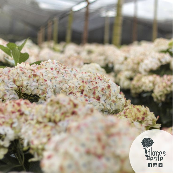 Prune #hydrangeas very lightly once during the year, cut aged stems and dried flowers. You can use them dissected as a decorative elemen #floresdeleeste