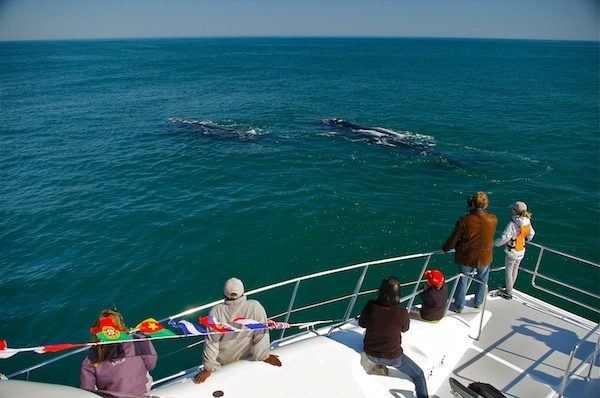 Whale Watching in Hermanus www.southernrightcharters.co.za