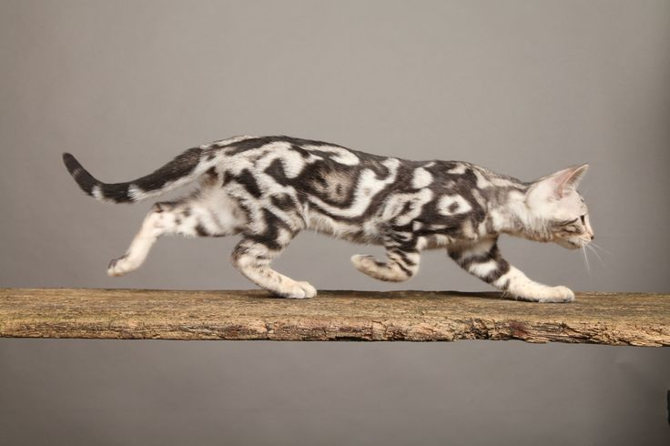 Silver (Black) - Remarkable Bengal Kittens for sale in Washington ...