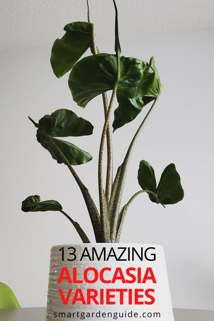 13 Amazing Alocasia Varieties You Will Love Smart Garden Guide In 2020 Alocasia Plant Planting Herbs Philodendron Plant