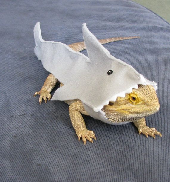 Great White Shark Costume for Bearded Dragons by PamperedBeardies