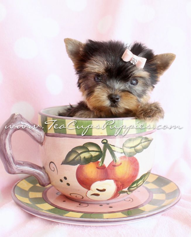 Yorkshire Terrier Kidney Failure 23 best images about G...