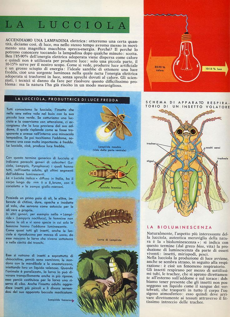 enciclopedia-Conoscere-interni-pagine-interne-disegni-La-lucciola
